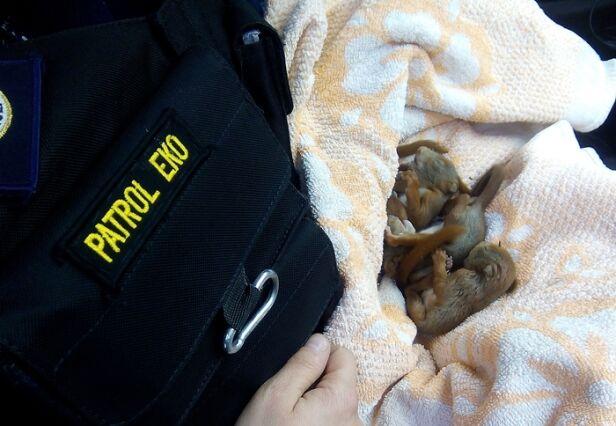 Eko Patrol uratował wiewiórki straż miejska