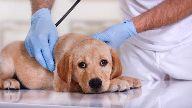 CarniVacCov. W Rosji zarejestrowano pierwszą szczepionkę przeciw COVID-19 dla zwierząt