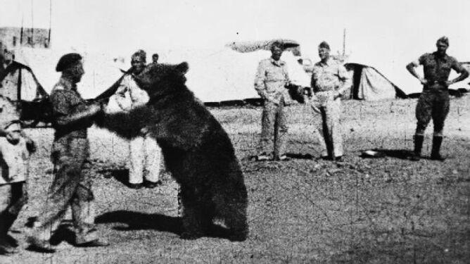 Niedźwiedź Wojtek bohaterem Wojska Polskiego. Podczas wojny nosił amunicję