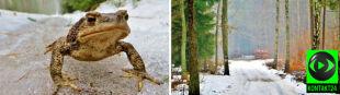 Żaby zamiast hibernować spacerują po leśnych ścieżkach